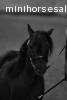 "PRF Zpotless. AMHA / AMHR. Black stallion 30"" POA"