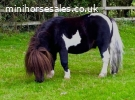 Shetland stallion 32 inch